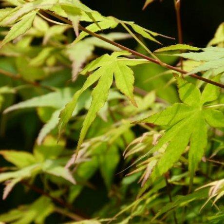 ใบเมเปิ้ลโมะมิจิของฮิโรชิมะ