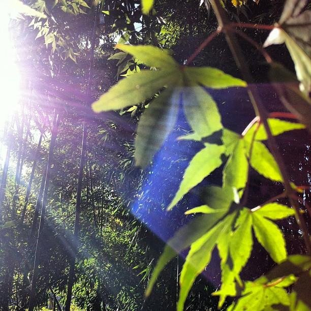 momiji leaves, bamboo forest and bending light