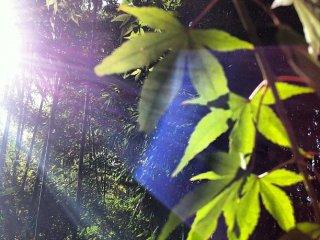 Lá momiji, rừng tre và ánh sáng bị uốn cong