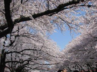 Парк Уэно - одно из лучших мест для любования сакурой