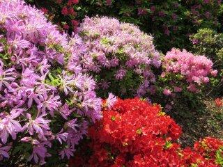 Сотни кустов азалии цвтут в мае