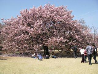В хорошую погоду многие токийцы выбираются на пикники