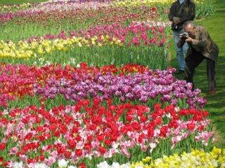 Поля тюльпанов в парке Хамаматсу