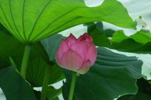 Les lotus de Kamakura dans le sanctuaire Tsurugaoka Hachiman-gû