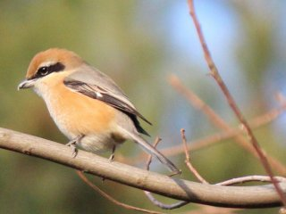 The bullheaded shrike impales lizards, frogs and insects on branches to mark its territory