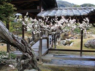 Au moment de la floraison des pruniers