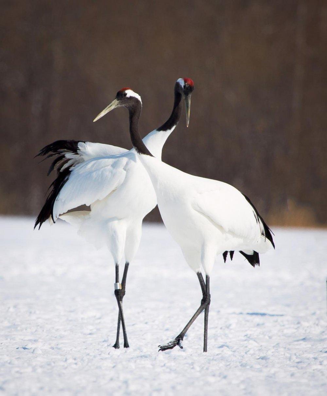 丹頂鶴は通常番い(つがい)で行動する