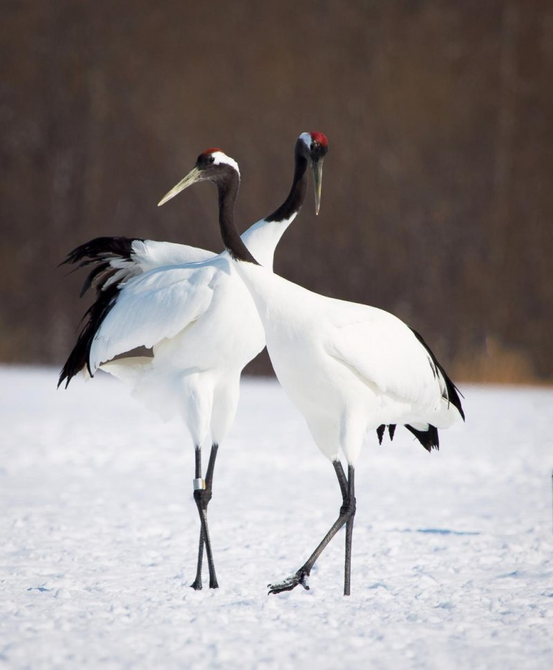Cranes are mostly seen as a couple