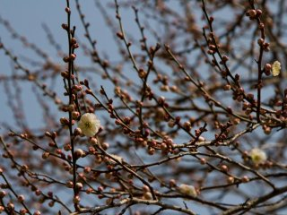 Some plum blossoms were only about to get started