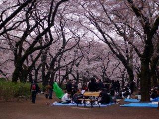 벚꽃 나무의 가지들은 사람들을 위한 지붕과 같다