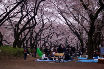 The branches of the cherry blossom trees are like a roof for the people below