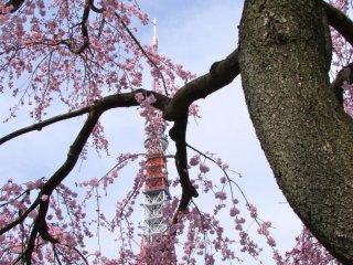 春の増上寺