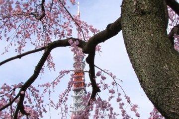 봄의 조죠지(増上寺)