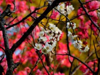 약간의 금목과 함께 분홍색 우메꽃 위에 흰색