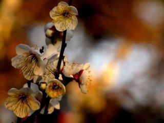 벚꽃과는 달리, 매화는 강하고 달콤한 향기가 난다
