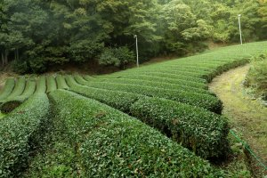 Tea field of 山水園(Sansuien)