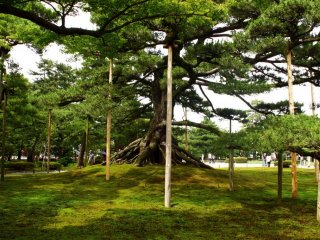 Wooden poles support the weight of this tree's branches, and are a feature in their own right.