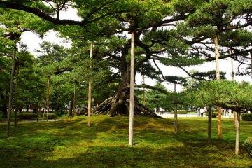 <p>나무 막대기들이 큰 나무의 가지들을 받쳐주면서 정원에서 존재감을 드러내고 있다.</p>