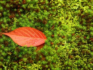 Simplicity: a red leaf lies on a bed of moss.