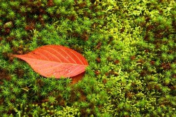 <p>단조로움: 이끼 위로 놓여진 붉은 나뭇잎</p>