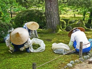 Women painstakingly pick weeds from the mossy lawn, shielded from the sun by their large hats.