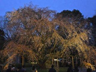 Shidare zakura (cây anh đào rì rào) sáng lên