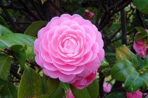 ดอกคาเมลเลีย (camellia)