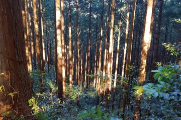 Magose Pass - Trees