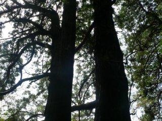 An 800 year old Taro cedar tree