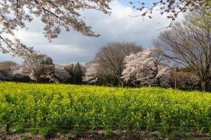 เทศกาลดอกไม้ Showa Memorial Park