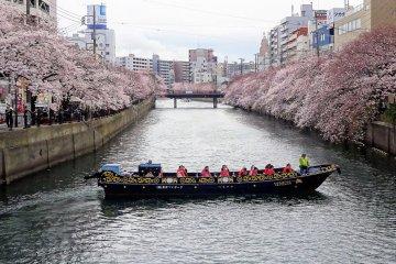 เทศกาลดอกซากุระแม่น้ำโอโอะคะกะวะ