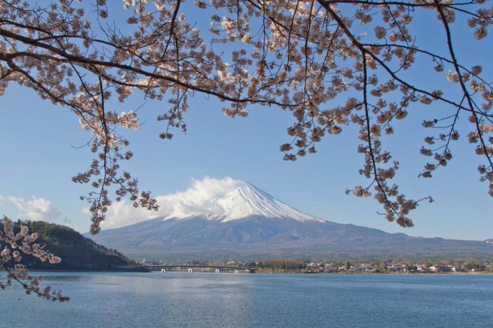 Классическая картина: Фудзияма, сквозь цветы сакуры