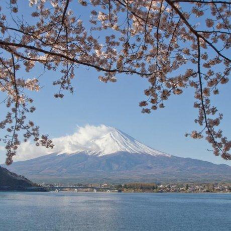 ดอกซากุระรอบๆภูเขาฟูจิ