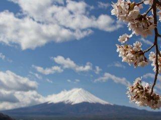 Сакура в полном цвету