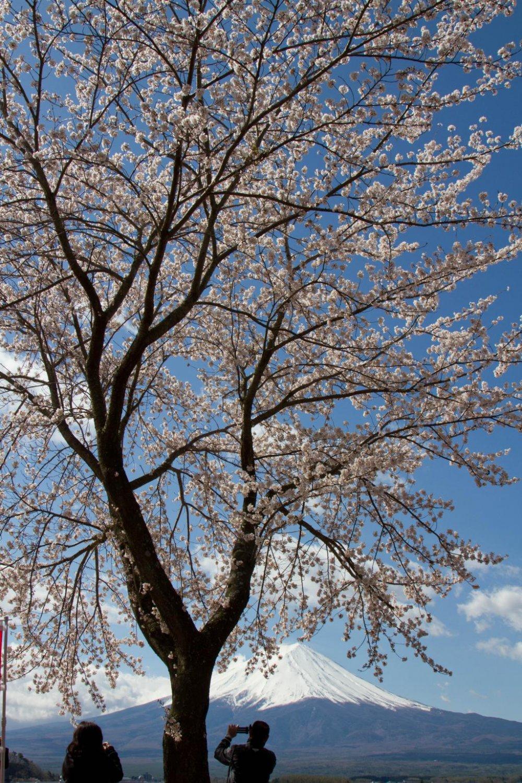 Cherry Blossoms Around Mount Fuji Yamanashi Japan