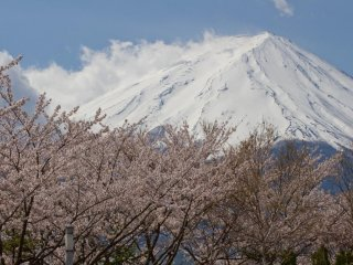 The pink blossoms offer a very nice contrast to the snow covered mountain top