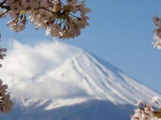Фудзи-сан в обрамлении цветов сакуры.