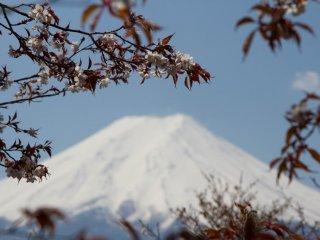 Les feuilles foncées marquent un fort contraste avec le sommet du Mont Fuji