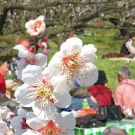 เทศกาล Odawara Ume Matsuri