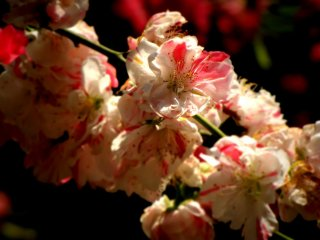 Late blooming cherry blossoms (ichiyo) are also a common sight here