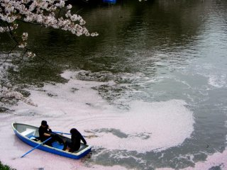 A couple literally floats on cherry blossoms