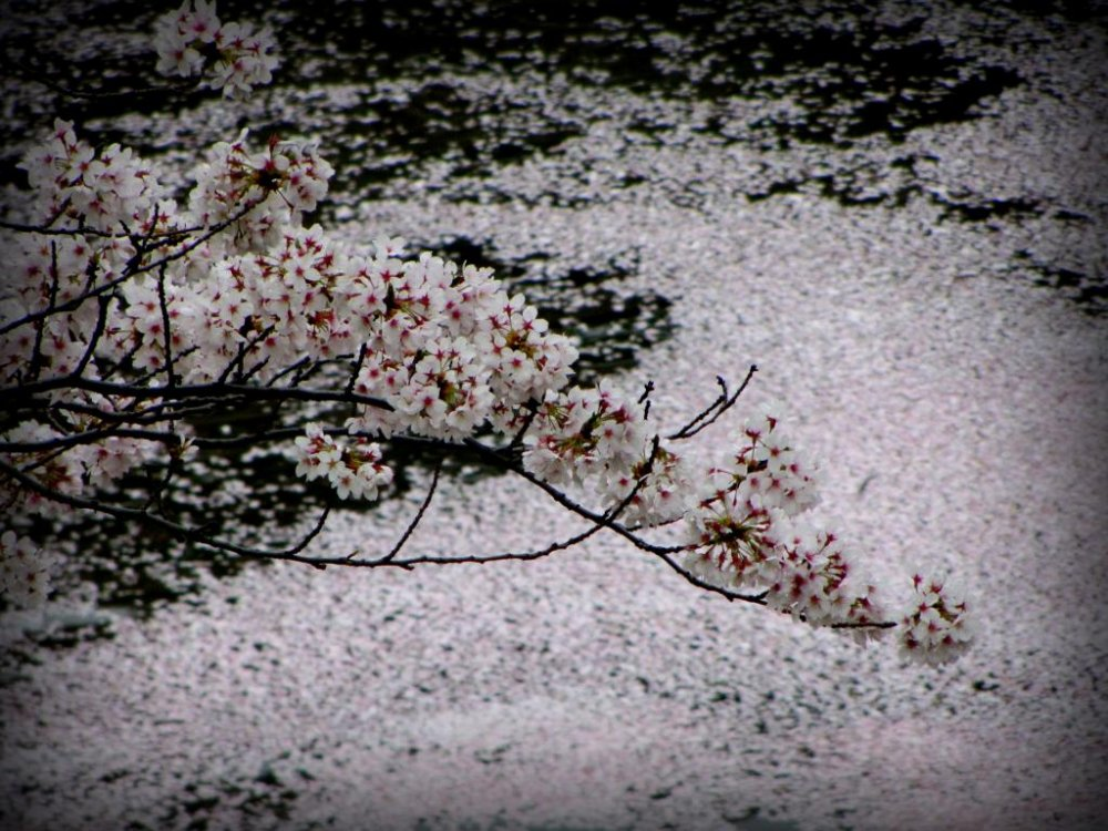 When the blossoms fall, they cover the water and the walkways