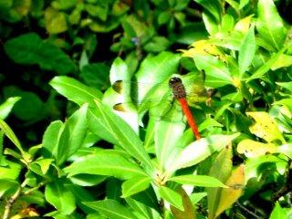 แมลงปออาบแดดท่ามกลางใบไม้สีเขียวสดใสในพื้นที่บริเวณโอะโคะจิ ซานโซะ