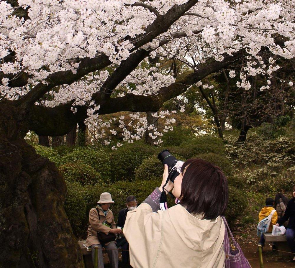 Great spots for sakura snaps in the surrounding garden are plentiful