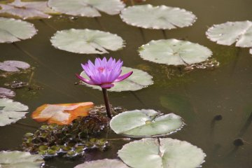 <p>Lily pads in the pond</p>
