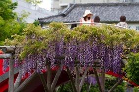 Lễ hội hoa đậu biếc, Kameido Tenjin