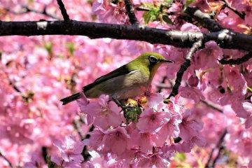 แอบดู mejiro @ สวน Kitanomaru