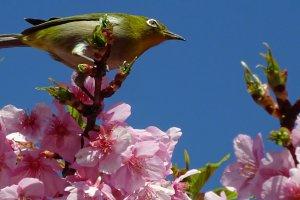 นกน้อยน่ารักได้ชื่อมาจากเมคอัพรอบดวงตาที่เป็นสีขาว