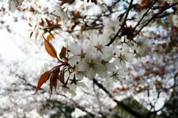 The cherry blossom is the symbol of Japan. In Mount Yoshino you have the opportunity to see it over a number of weeks.