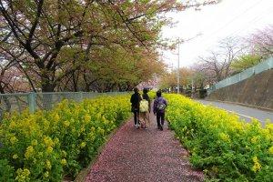 ทางเดินดอกซากุระและสีเหลืองจัดจ้านของดอกเรฟซีด